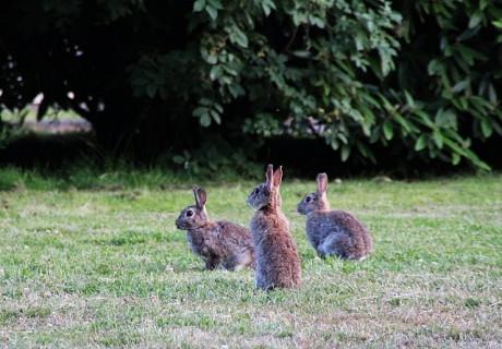 inseminacao artificial em coelhos 1