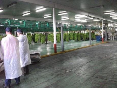 fig4 visita tecnica tenerife cachos banana linhas processamento
