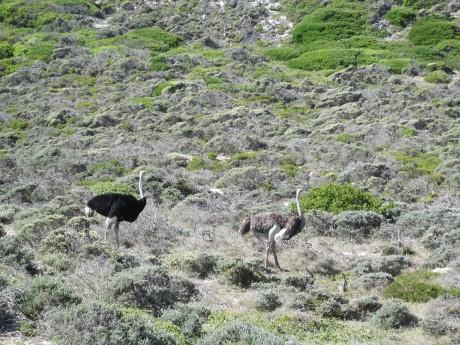 producao avestruzes1