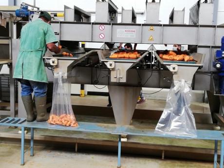 processamento cenoura 2