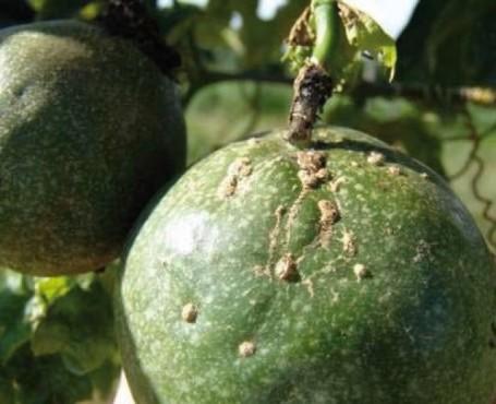 verrugose frutos maracujazeiro