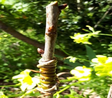 termpos hortofruticultura enxertia cerejeira