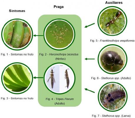 fauna auxiliar bananeira figuras1a7