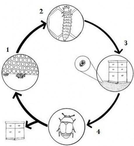 alerta aos apicultores aethina tumida ciclo biologico