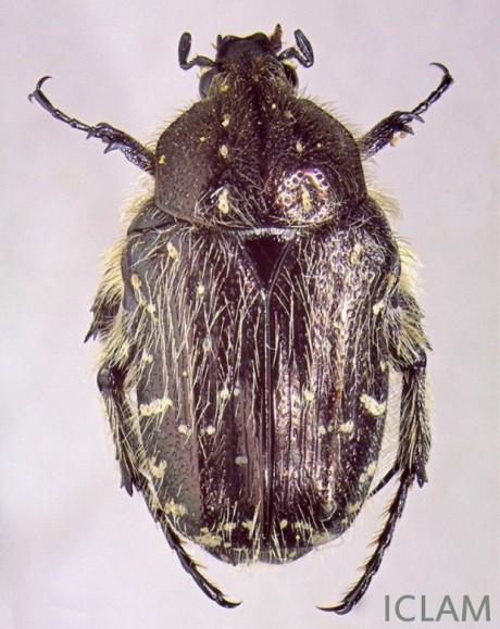 oxythyrea funesta fig1 femea adulta
