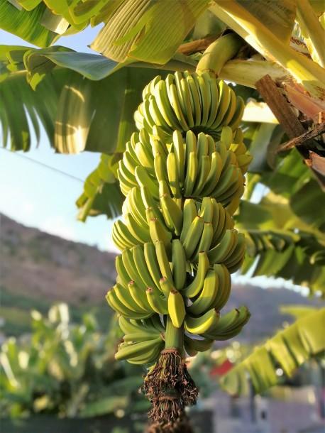 banana gesba 2
