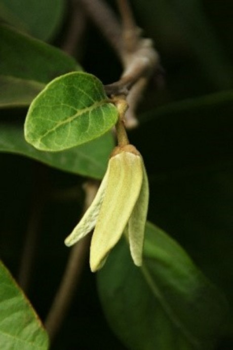 figura1.2 flor estado femea