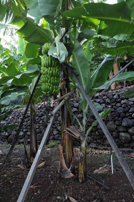 gorgulho da bananeira DICAs 1
