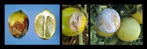 citrinos mildio