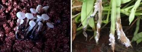 feijoeiro fungos