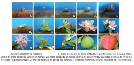 fenologia macieira