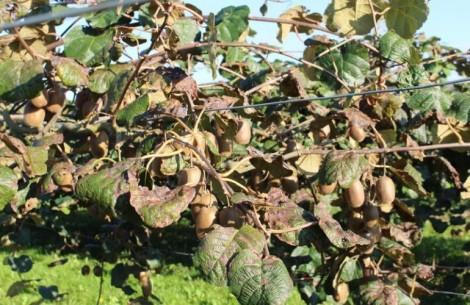bacteriose kiwi 3