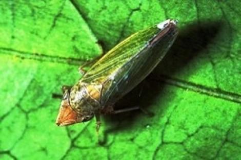 fig4 draeculacephala minerva