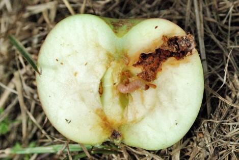 macieira bichado