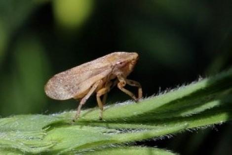 fig1 philaenus spumarius