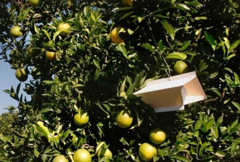 armadilhas citrinos