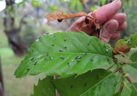 galhas castanheiro largada parasitoide