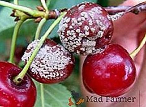 cereja moniliase