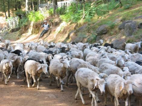 rebanho ovelhas lingua azul