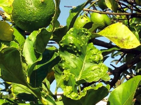 psila citrinos artigo