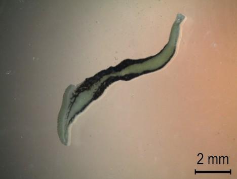 figura2 allencotyla mcintoshi
