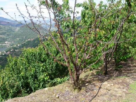 cereja cerejeira morta armillaria