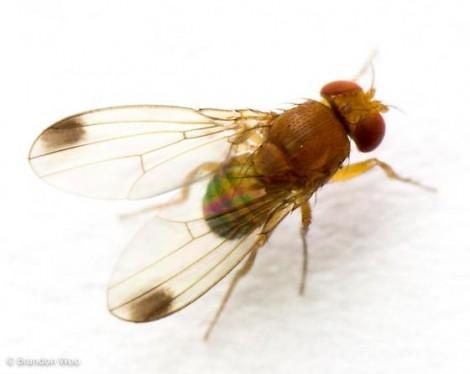 cereja mosca asa manchada