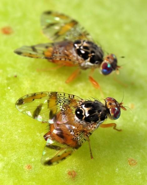 cereja mosca da fruta