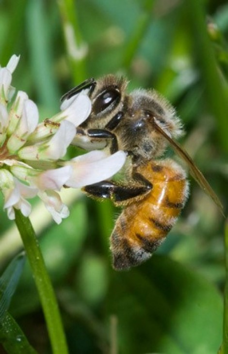 fig1 abelha